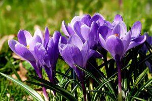 osterglocken pflanzen im frühjahr