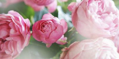 pfingstrosen-paeonien-sorten-einpflanzen-pflege