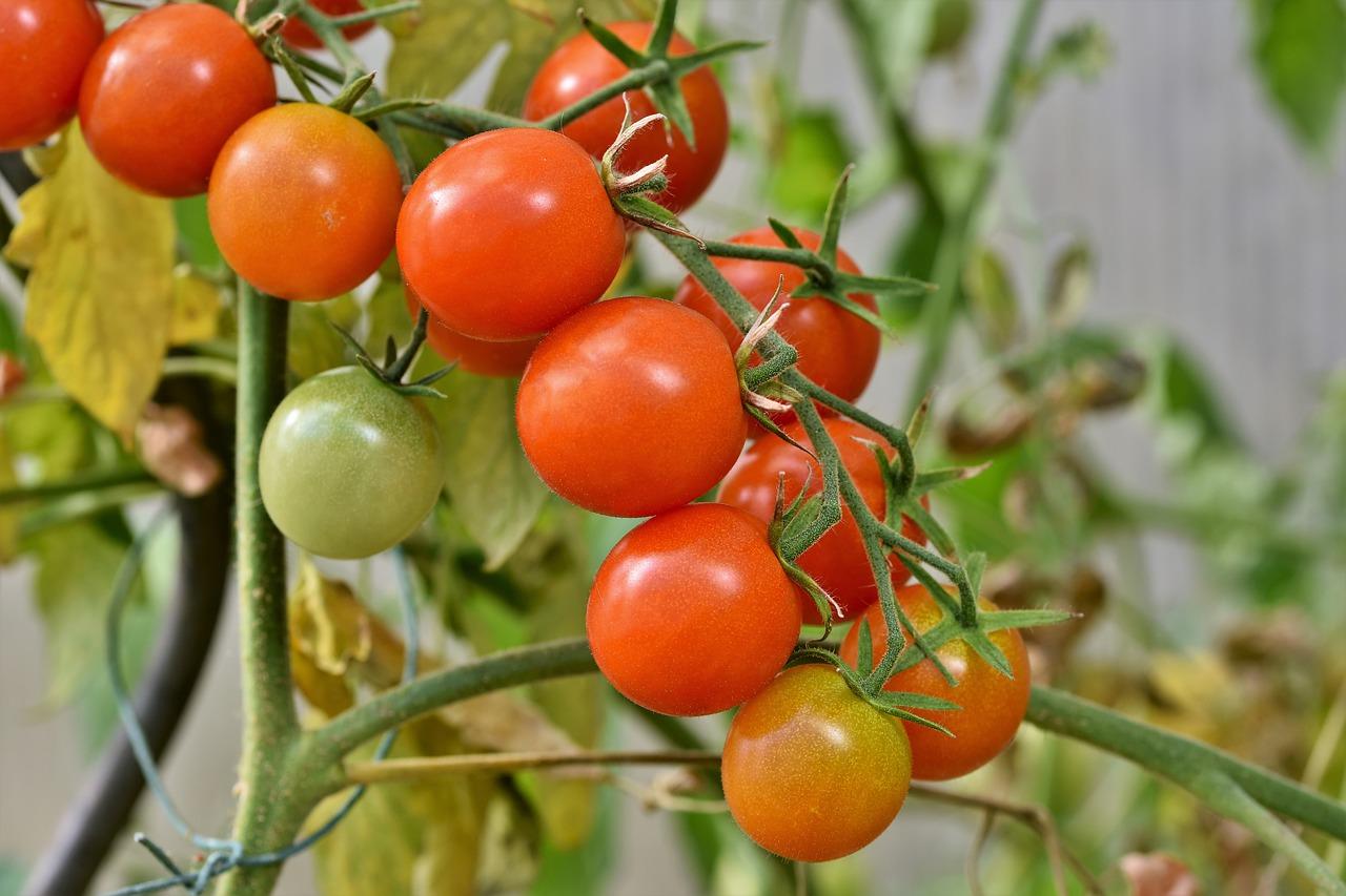 Tomaten im Wintergarten anpflanzen - warum nicht?
